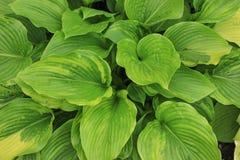 Grüner Blatt-Hintergrund Stockfotos