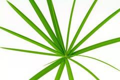 Grüner Blatt-Papyrus stockbild