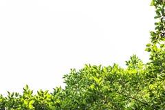 Grüner Blatt- und Niederlassungs- und Blattrahmen auf einem weißen Hintergrund Lizenzfreies Stockbild