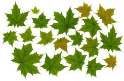 Grüner Blattahorn Stockbild