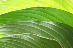 Grüner Blattauszugshintergrund Stockfotos
