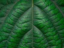 Grüner Blattbeschaffenheits-/Blattbeschaffenheitshintergrund/Kopienraum Lizenzfreie Stockfotos