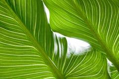 Grüner Blattbeschaffenheitshintergrund mit Licht hinten Kontrastierende helle Bänder stockbilder
