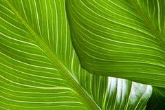Grüner Blattbeschaffenheitshintergrund mit Licht hinten Kontrastierende helle Bänder stockfotos
