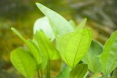 Grüner Blattfokus-Unschärfehintergrund Lizenzfreies Stockbild