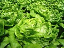 Grüner Blattkopfsalat Lizenzfreie Stockfotos