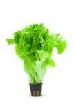 Grüner Blattkopfsalat Stockfoto