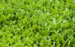 Grüner Blattkopfsalat wächst im Garten Lizenzfreie Stockfotos