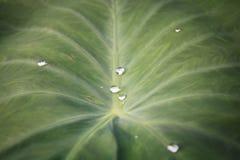 Grüner Blattlotos mit Wasser fällt für Hintergrund Stockfotos