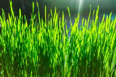 Grüner Blumenhintergrund mit Bündel Gras und schimmernden Scheinwerferlichtern Stockfotos