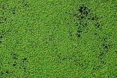 Grüner Blumenhintergrund mit Entengrütze auf dem See Lizenzfreie Stockfotos