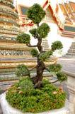 Grüner Bonsaibaum mit rosa Blumen, Bangkok, Thailand Lizenzfreie Stockbilder