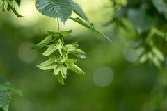 Grüner Buchenbaum im Sommer vor unscharfem Hintergrund mit unreifen Bucheckern stockfoto