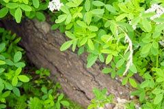 Grüner Busch auf einem Hintergrund des Holzes stockfotos