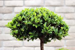 Grüner Busch des Bonsaibaums Stockbild