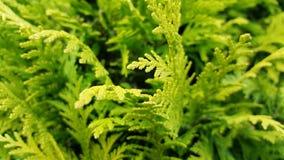Grüner Busch des Farns im Wald Stockbild