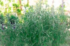 Grüner Busch des Lavendels Lizenzfreie Stockfotos