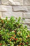 Grüner Busch mit orange Blumen gegen graue Steinbacksteinmauer Stockfotografie