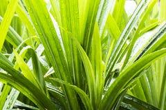 Grüner Busch mit Regentropfen Stockbild
