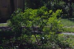 Grüner Bush im Sommergarten Lizenzfreie Stockfotos