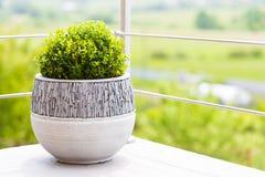 Grüner Buxus im keramischen Blumentopf auf einem Balkon Stockfoto