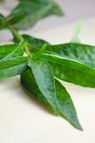 Grüner Chirayta, König des Blattes des bitteren Getränks lokalisiert auf hölzernem Hintergrund Stockbild