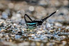 Grüner dragontail Schmetterling stockbild