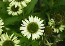 Grüner Echinacea Stockfotografie
