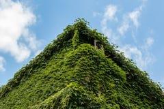 Grüner Efeu Stockfotos