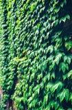 Grüner Efeu auf der Wand Stockbild
