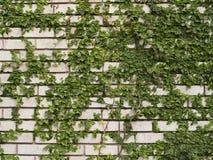 Grüner Efeu auf Wand Stockfotos