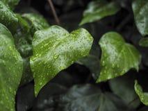 Grüner Efeu Hedera im Regen Stockfotografie
