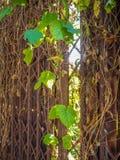 Grüner Efeu mit einer rostigen Tür stockfoto