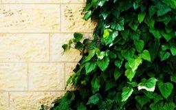 Grüner Efeu schafft einen Rahmen Stockfotografie