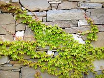 Grüner Efeu und Felsen Stockfoto