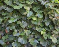 Grüner Efeu verlässt auf einer Wand, die als Hintergrundbeschaffenheit benutzt wird Stockbilder