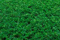 Grüner Efeu verlässt Hintergrund Lizenzfreies Stockbild