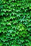 Grüner Efeuhintergrund Stockfotografie