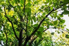 Grüner Effekt mit grünem Baum, Hintergrund verwischt Stockfotos