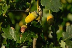 Grüner Eichel- und Eichenblatthintergrund Stockfoto