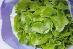 Grüner Eichen-Blatt-Kopfsalat Stockfotografie