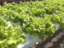 Grüner Eichen-Kopfsalat Lizenzfreie Stockfotos