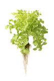 Grüner Eichen-Kopfsalat Stockfotografie