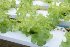 Grüner Eichen-Kopfsalat Stockfotos