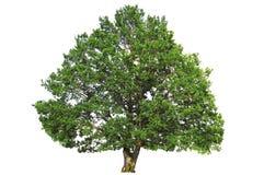 Grüner Eichenbaum Lizenzfreies Stockbild
