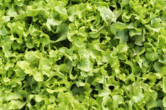 Grüner Eichenblattkopfsalat Stockbild