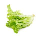 Grüner Eichenblattkopfsalat lokalisiert auf weißem Hintergrund Lizenzfreies Stockfoto