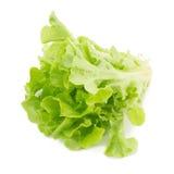 Grüner Eichenblattkopfsalat lokalisiert auf weißem Hintergrund Stockbilder