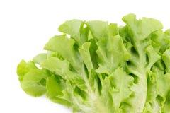 Grüner Eichenblattkopfsalat lokalisiert auf weißem Hintergrund Stockfotos