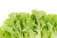 Grüner Eichenblattkopfsalat lokalisiert auf weißem Hintergrund Stockfoto